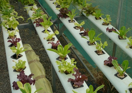 As the name implies, the Nutrient Film Technique is a hydroponic system based on a moving film of nutrient solution.