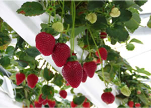 NFT Strawberries